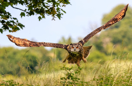 bird fly: Eagle Owl flying low over a hedge