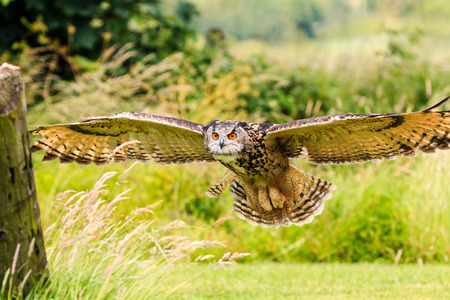 swooping: Eagle Owl flying low over a field