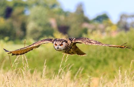 Búho Real volando a baja altura sobre un campo