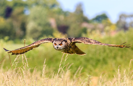 predatory: Eagle Owl flying low over a field