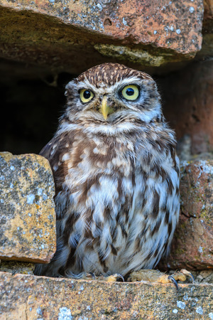 A Little Owl hides in a small hole in an outside brick wall photo