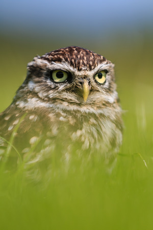 A Little Owl hiding very low in long grass