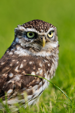 athene: A Little Owl on the ground in a green, grassy field