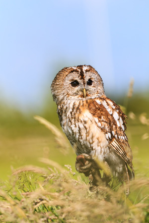 A Tawny Owl perches in a long, grassy meadow