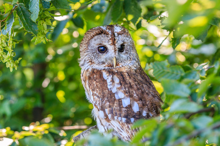 athene: A Tawny Owl hides in a tree and foliage