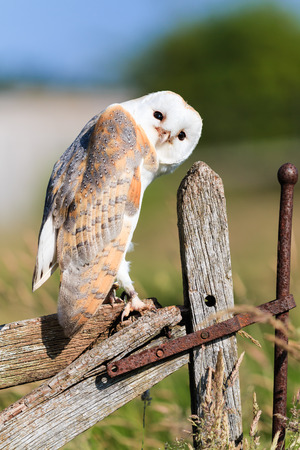 Barl owl looks curiously from an old wooden fence