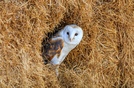 Barn owl hiding in a hay bale with blue sky reflected in its eyes