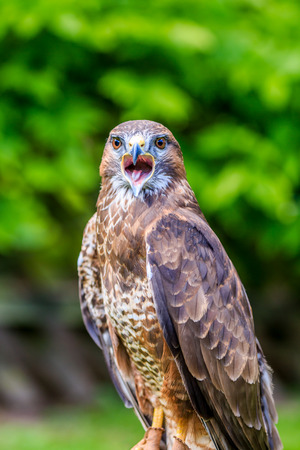 squawk: A Falcon on a perch with its beak wide open