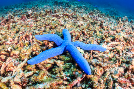 caribbean climate: A single starfish sites on a destroyed coral reef   Global warming and illegal dynamite fishing are having a huge negative effect on coral reefs