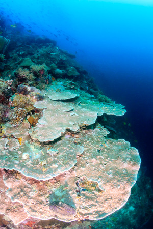 hard coral: Large hard corals on a tropical coral reef wall