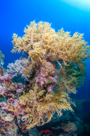 Colorful soft corals on a tropical coral reef