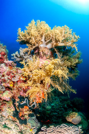Brightly colored soft corals on a healthy tropical reef