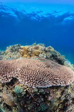 acropora: Acropora and fish on a healthy tropical coral reef