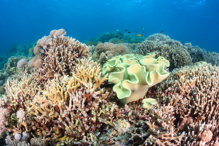 Hard corals and tropical fish around a healthy coral reef