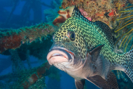 A Harlequin Sweetlips close up on an underwater shipwreck