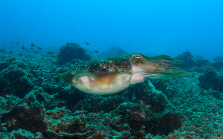 Large Cuttlefish swims over a tropical reef Stock Photo