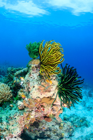 Feather stars growing on a coral pinnacle photo