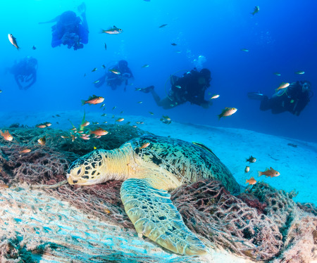 interraction: A resting green turtle is overcrowded by SCUBA divers Stock Photo