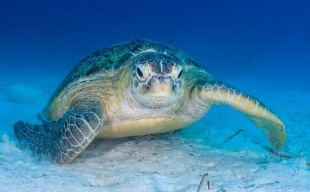 A sea turtle kicks up sand and silt on the ocean floor