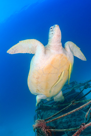 A Green Turtle with 2 Remora swims away from a small underwater wreck