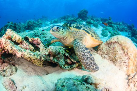 Sea turtle rests on a coral reef