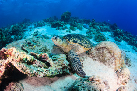 interraction: Green Turtle resting on a tropical coral reef