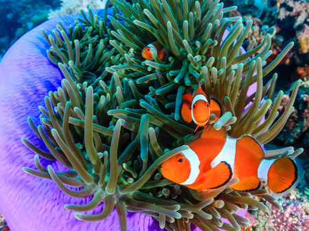 clown fish amphiprion: Pacific Clownfish in a colorful purple host anemone