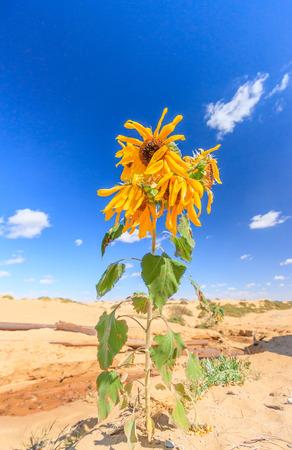 A Sunflower growing in an arid desert photo