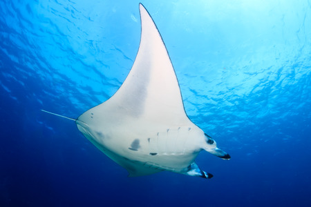 Large Manta Ray swimming in clear blue water