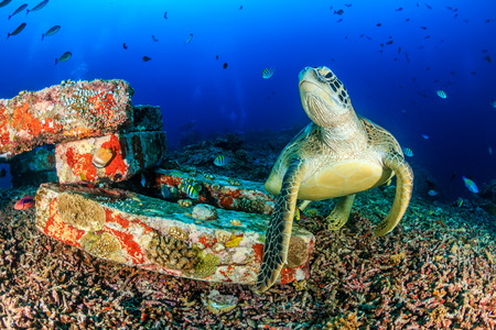 어두운 오후에 열대 산호초에 녹색 거북이 스톡 콘텐츠