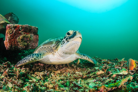 murky: Green Turtle resting on the seabed on a dark, murky afternoon