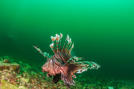 pterois volitans: Colorful Lionfish patrols a dark, murky tropical reef