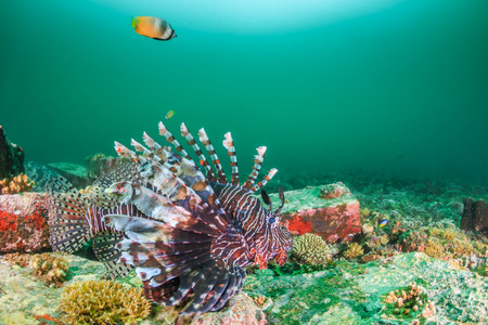 Colorful Lionfish patrols a dark, murky tropical reef
