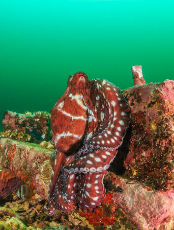 sharm el sheikh: Large red Octopus hiding on a manmade structure in dark, murky, green water