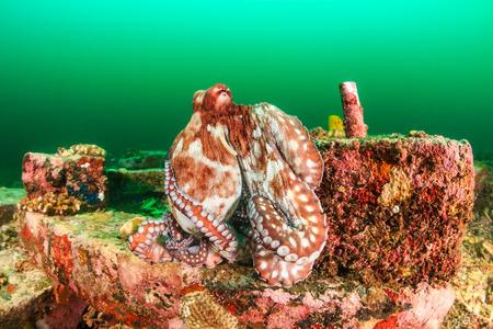 murky: Large Octopus hiding on manmade debris in dark, green, murky water