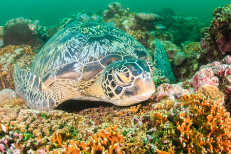 Green Turtle sleeping on a tropical coral reef on a dark, murky afternoon Stock Photo