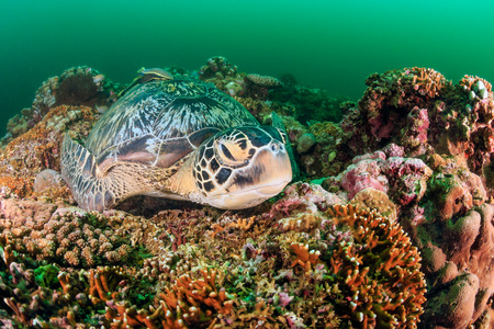 interraction: Green Turtle sleeping on a tropical coral reef on a dark, murky afternoon Stock Photo