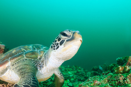 interraction: A green turtle on a dark, tropical coral reef Stock Photo