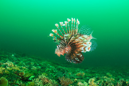 pterois volitans: A Lionfish patrols the reef in dark, green waters