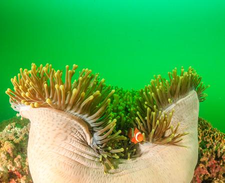 plankton: Pez payaso en su an�mona de acogida durante una floraci�n de plancton en un arrecife de coral tropical Foto de archivo