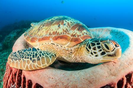 interraction: Large Green Turtle resting in a barrel sponge