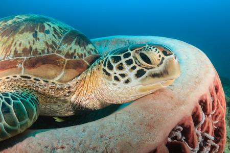interraction: Green Turtle resting on a barrel sponge