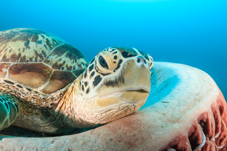 A Green Sea Turtle resting in a large barrel sponge photo