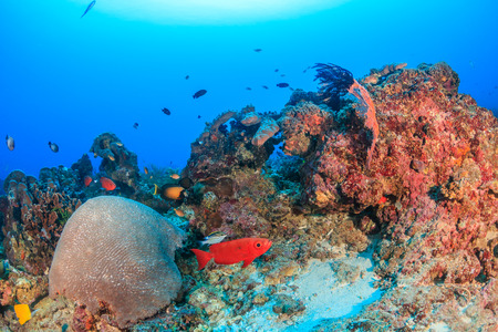Tropical fish on a deep, healthy coral reef