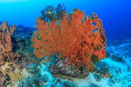 gorgonian sea fan: Large seafan deep on a tropical coral reef