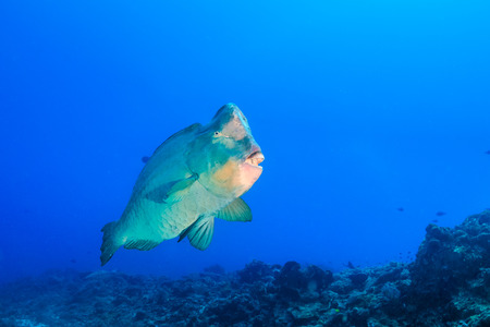 humphead: Large, ugly Bumphead Parrotfish on a tropical coral reef Stock Photo