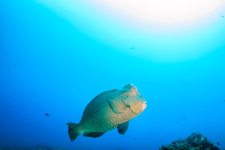 Bumphead Parrotfish on a tropical coral reef photo