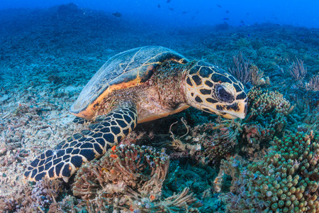 chelonia: Hawksbill Turtle creates a cloud of silt as it feeds on a tropical coral reef Stock Photo