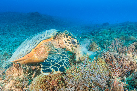silt: Hawksbill Turtle creates a cloud of silt as it feeds on a tropical coral reef Stock Photo