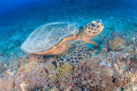 creates: Hawksbill Turtle creates a cloud of silt as it feeds on a tropical coral reef Stock Photo
